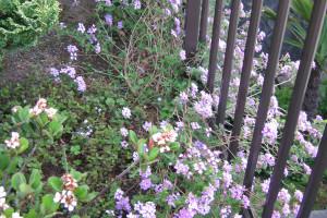 咲いているコバノランタナ