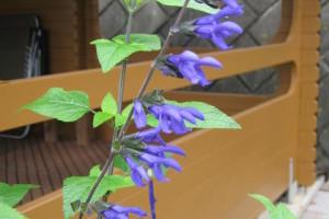 開花中のサルビア・グアラニチカ