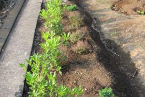 植えた直後のトベラ