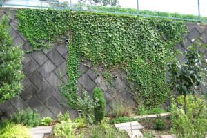 ナツヅタに覆われた擁壁