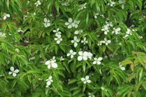 開花中の常緑ヤマボウシ