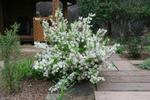 開花中のヒメウツギ
