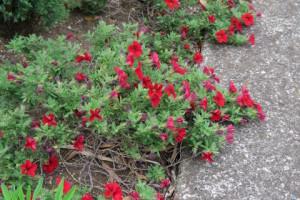 赤いカリブラコア
