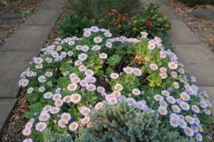 開花中のダルマギク