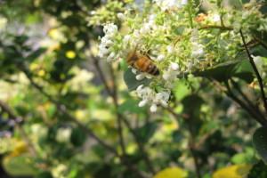 ネズミモチとミツバチ