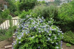 開花中のルリマツリ
