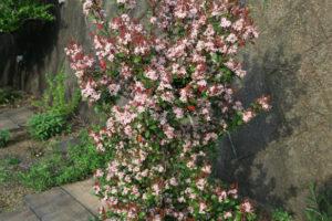 開花中のヒメシャリンバイ