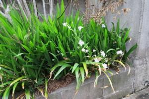 開花中のシャガ