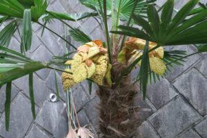 トウジュロのグロテスクな花