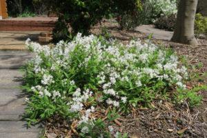 開花中の極ヒメウツギ