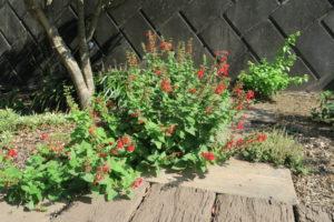 赤花のサルビア・コクシネア
