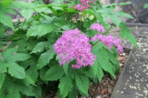 開花中のキョウガノコ
