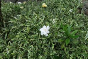 開花中の斑入りヒメクチナシ