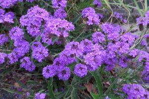 開花中のバーベナ・リギダ