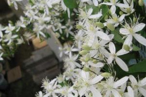 センニンソウの花