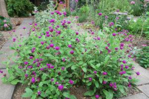 開花中のセンニチコウ