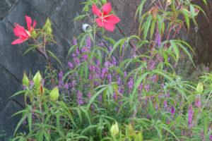開花中のモミジアオイ
