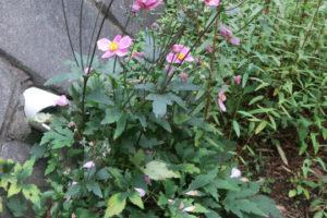 開花中のももいろブーケ
