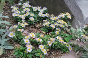 開花中のヒメノコンギク