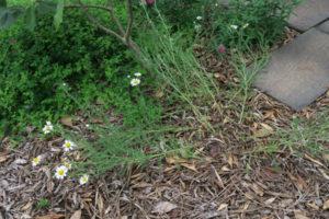 開花中のローマンカモミール