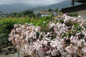 開花中のハゴロモジャスミン