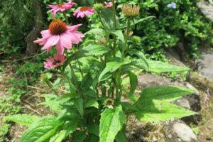 開花中のエキナセア