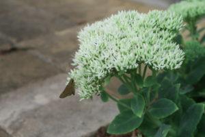 開花中のオオベンケイソウ