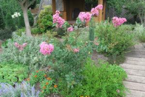開花中のペチートピンキー