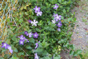 開花中のツルニチニチソウ