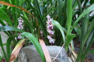 キチジョウソウの花