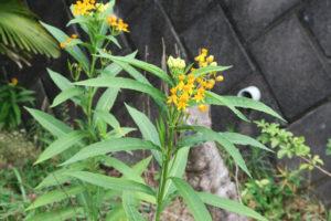 開花中のアスクレピアス