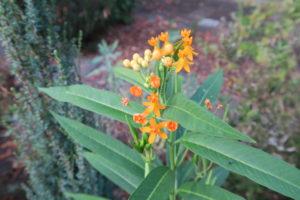 アスクレピアスの花