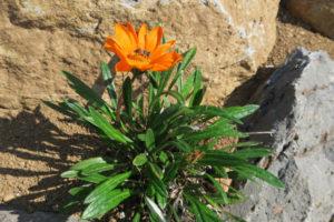 開花中のガザニア