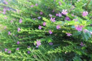 クフェアの花