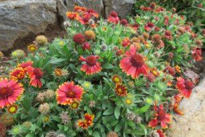 開花中のガイラルディア