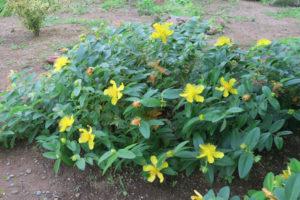 開花中の H. カリシナム