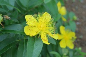 ヒペリカムカリシナムの花