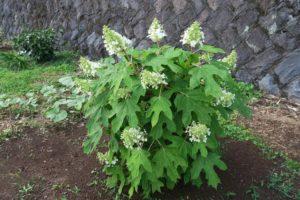 開花中のカシワバアジサイ