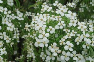 花が増えた常緑ヤマボウシ