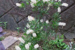 開花中のアメリカリョウブ