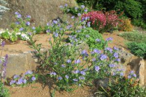 開花中のブルーベッダー