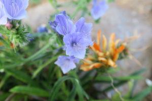 ブルーベッダーの花