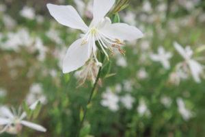 スパークルホワイトの花