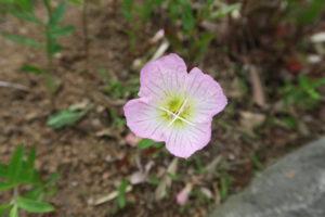 ヒルザキツキミソウの花