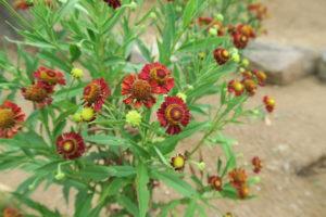 ルビーチューズデーの花