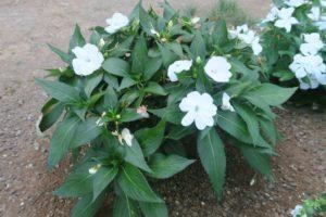 開花中のサンパチエンス