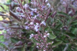 ミツバハマゴウの花